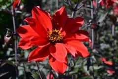 Czerwony kwiat z żółtym centre w świetle słonecznym Zdjęcia Stock