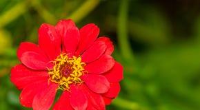 Czerwony kwiat z koloru żółtego i czerwieni centrum Obrazy Stock