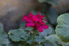 Czerwony kwiat z liśćmi Fotografia Stock