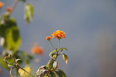 Czerwony kwiat z nieba tłem Zdjęcia Royalty Free