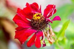 Czerwony kwiat z pszczołą Obrazy Royalty Free