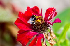 Czerwony kwiat z pszczołą Obraz Stock
