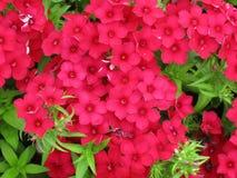 czerwony kwiat zielonych liści Obrazy Stock