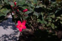 Czerwony kwiatonośnego krzaka Jatropha integerrima, Abu Dhabi obrazy royalty free