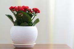 Czerwony kwiatonośny Kalanchoe w białym garnku Zdjęcia Stock