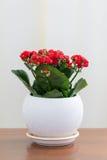 Czerwony kwiatonośny Kalanchoe w białym garnku Obrazy Stock
