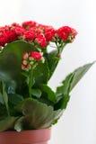 Czerwony kwiatonośny Kalanchoe na lekkim tle Zdjęcie Royalty Free