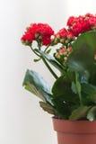 Czerwony kwiatonośny Kalanchoe na lekkim tle Obraz Royalty Free