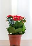 Czerwony kwiatonośny Kalanchoe w garnku Zdjęcie Royalty Free