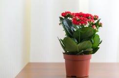 Czerwony kwiatonośny Kalanchoe w garnku Obraz Royalty Free