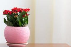 Czerwony kwiatonośny Kalanchoe w garnku Fotografia Royalty Free