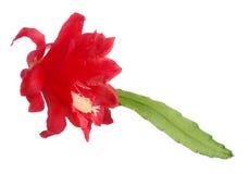 czerwony kwiatu biel zdjęcie stock