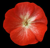 Czerwony kwiatu bodziszek czerni odosobniony tło z ścinek ścieżką Zbliżenie żadny cienie Obraz Royalty Free