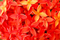 Czerwony kwiatu kwitnienie Zdjęcia Royalty Free
