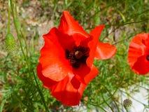 Czerwony kwiatu maczek w zielonym polu Obraz Stock