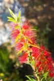 Czerwony kwiatu okwitnięcie, Banksia Zdjęcia Royalty Free