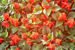 Czerwony kwiatu pole Fotografia Royalty Free