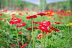Czerwony kwiatu pole obraz royalty free