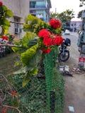 CZERWONY kwiatu sektor, 59 MOHALI PUNDŻAB INDIA zdjęcie royalty free