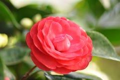 Czerwony kwitnący kameliowy kwiat wśród greenery fotografia stock