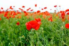 Czerwony kwitnący maczek, ogromny pole kwitnąć Zdjęcia Stock
