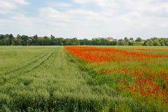 Czerwony kwitnący maczek, ogromny pole kwitnąć Zdjęcia Royalty Free