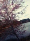 Czerwony kwitnący drzewo Zdjęcie Royalty Free
