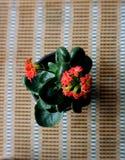 Czerwony kwitnący Kalanchoe blossfeldiana Zdjęcia Stock