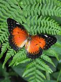 Czerwony Lacewing motyl przy odpoczynkiem na paproci Obraz Stock
