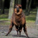 Czerwony Lama z eleganckim ostrzyżeniem Obraz Royalty Free