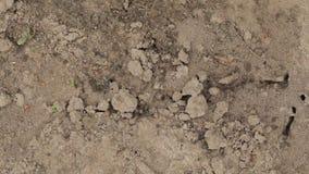 Czerwony Lasowy mrówki Formica Rufa W Anthill Makro- fotografii, Duży Anthill zakończenie Up, mrówki Rusza się W Anthill Tło Czer zbiory