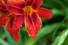 Czerwony leluja kwiat z wodnymi kroplami Obrazy Royalty Free