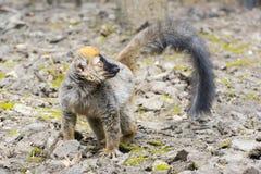 Czerwony lemur (Eulemur rufus) Obrazy Royalty Free