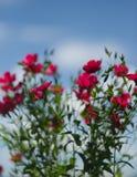 Czerwony len przeciw niebieskiemu niebu obraz stock