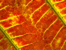 Czerwony liść Fotografia Stock