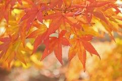 Czerwony liść Obraz Stock