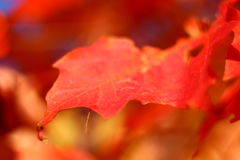 Czerwony liść Zdjęcie Stock