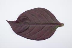 Czerwony liść Czerwony bluszcz, Czerwony płomienia bluszcz lub Hemigraphis alternata Zdjęcie Stock