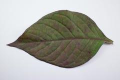 Czerwony liść Czerwony bluszcz, Czerwony płomienia bluszcz lub Hemigraphis alternata Obrazy Royalty Free