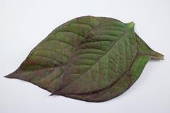 Czerwony liść Czerwony bluszcz, Czerwony płomienia bluszcz lub Hemigraphis alternata Obraz Stock
