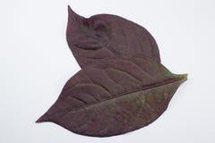 Czerwony liść Czerwony bluszcz, Czerwony płomienia bluszcz lub Hemigraphis alternata Fotografia Stock