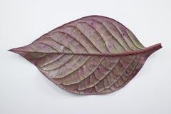 Czerwony liść Czerwony bluszcz, Czerwony płomienia bluszcz lub Hemigraphis alternata Fotografia Royalty Free