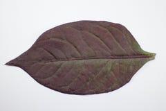 Czerwony liść Czerwony bluszcz, Czerwony płomienia bluszcz lub Hemigraphis alternata Zdjęcia Royalty Free