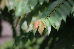 Czerwony liść gwiazdowy agrest Obraz Royalty Free