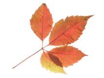 Czerwony liść i biały tło Obraz Royalty Free