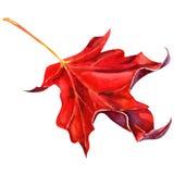 Czerwony liść klonowy jako jesień symbol Obraz Royalty Free