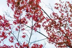 Czerwony liść klonowy, Kyoto, Japonia Zdjęcie Stock