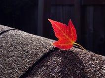 Czerwony liść klonowy na asfaltowych gontach Fotografia Royalty Free
