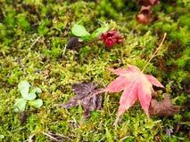 Czerwony liść klonowy na greensward Obrazy Royalty Free
