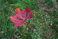 Czerwony liść klonowy na małym krzaku Zdjęcia Stock